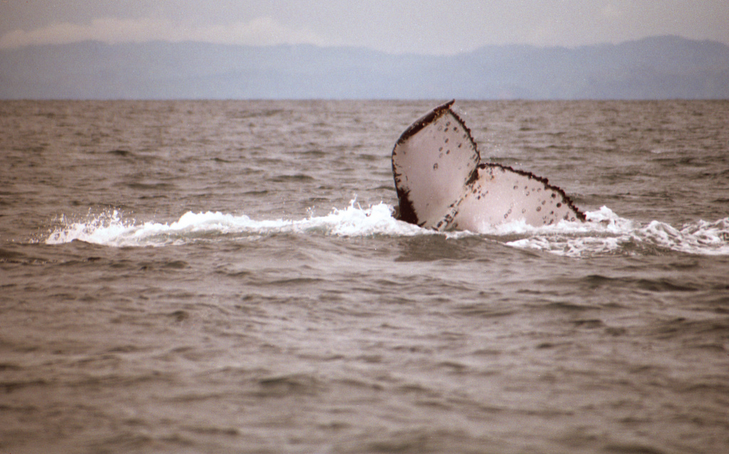 Flickr data-mining discovers record-breaking whale migration