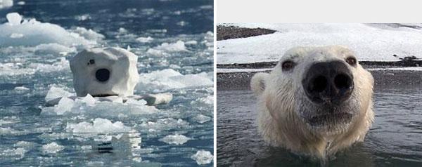 Polar Bear Spy Cams