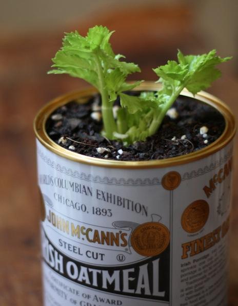 How-To: Grow Celery Indoors