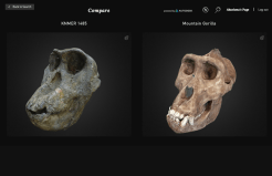 Interactive comparison of a early hominid skull and a modern Mountain Gorilla skull in 3D.