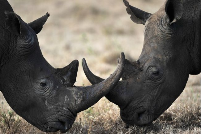 Makers, Drones, and the Future of South Africa's Imperiled Rhinos