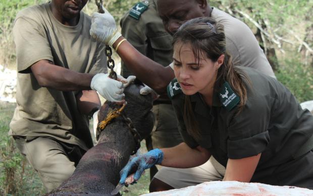 Witness to a Rhino Autopsy