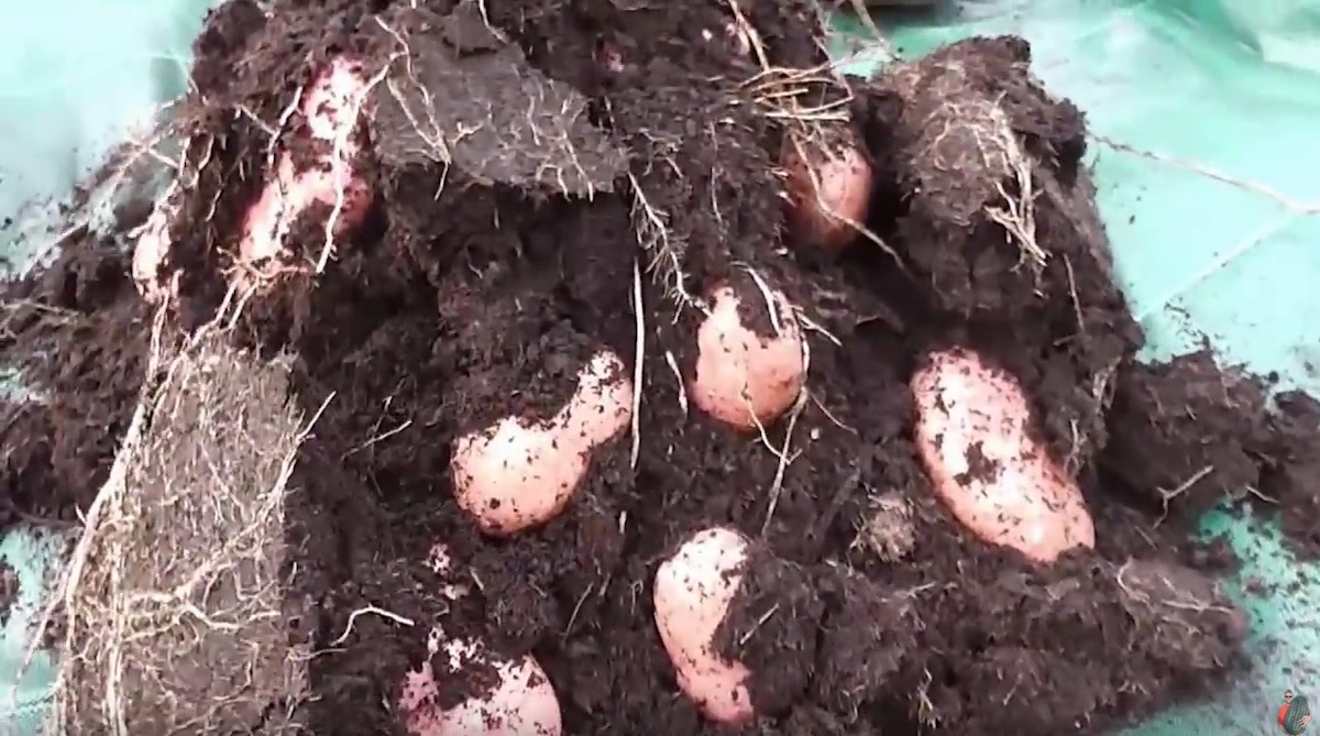 How to Build a Potato Tower or Other Easy Spud Planter