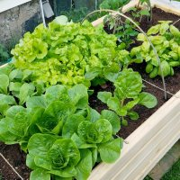 a raised planter bed sectioned off with twine into areas growing different leafy greens