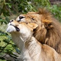 ライオンの雄と雌の写真