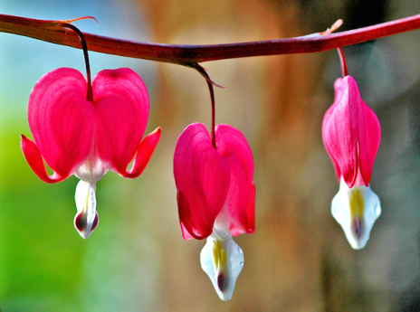 #064b Bleeding hearts
