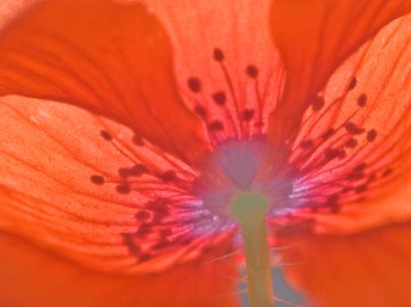 #159 Red Poppy