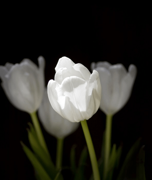 Silver, Non-Professional Nature, Flowers Tulip Spirits