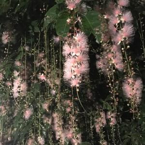 幻の花 サガリバナ 石垣島