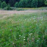 wunderschöne Wildblumenwiese bei Schierke