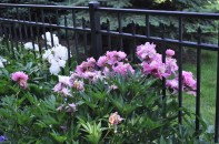peonies yearning for the sun