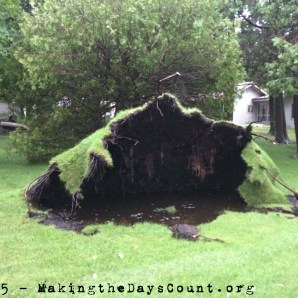 the neighbors downed cedar - blown down