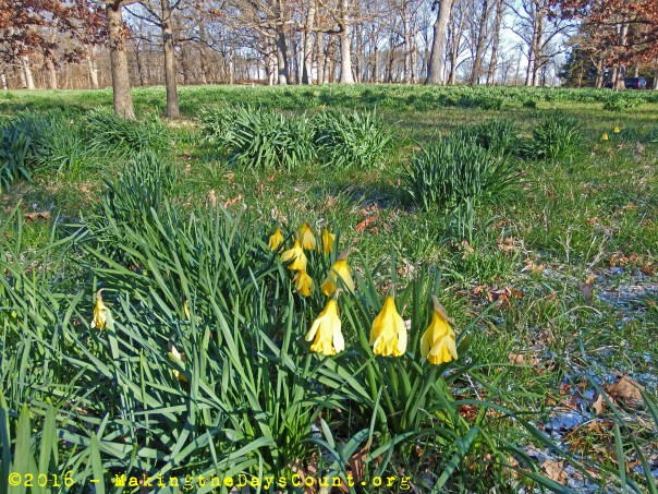daffodils in the morning light, cold and waiting for warmer days
