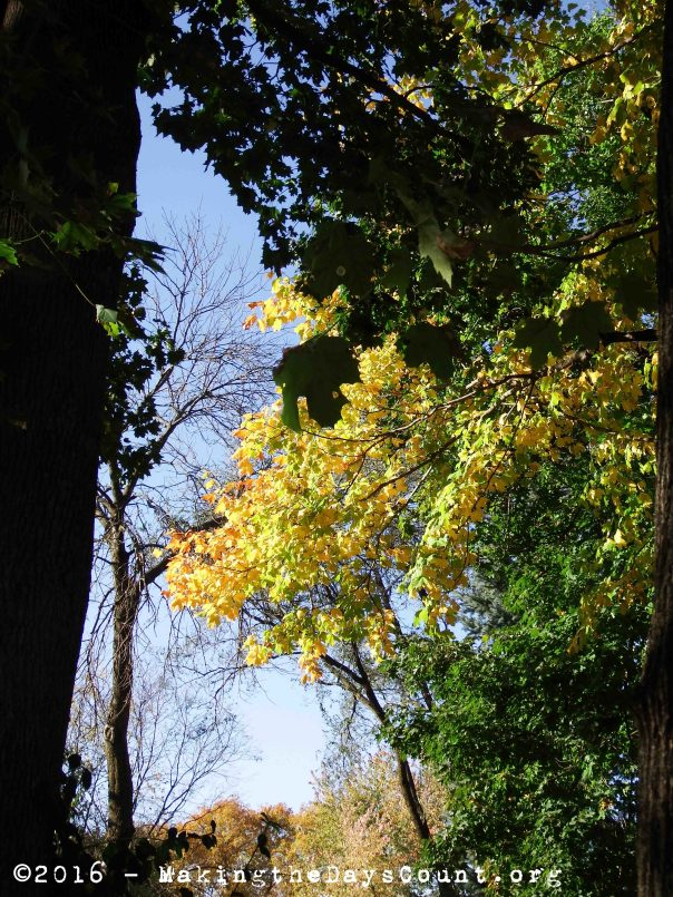 the leaves of the maple tree peak through the other trees lit by the sun