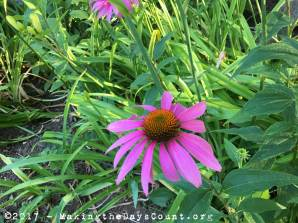 coneflowers at home