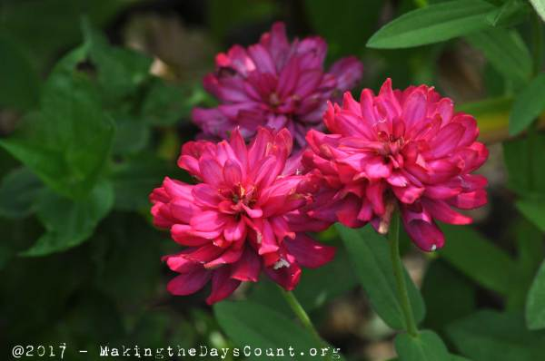 zinnia's a favorite of B's - - a photo by O