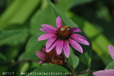 fast food for a bee, a confelower - a photo by O