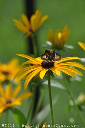 photo by O - a Black-eyed Susan is a rest stop for a moth