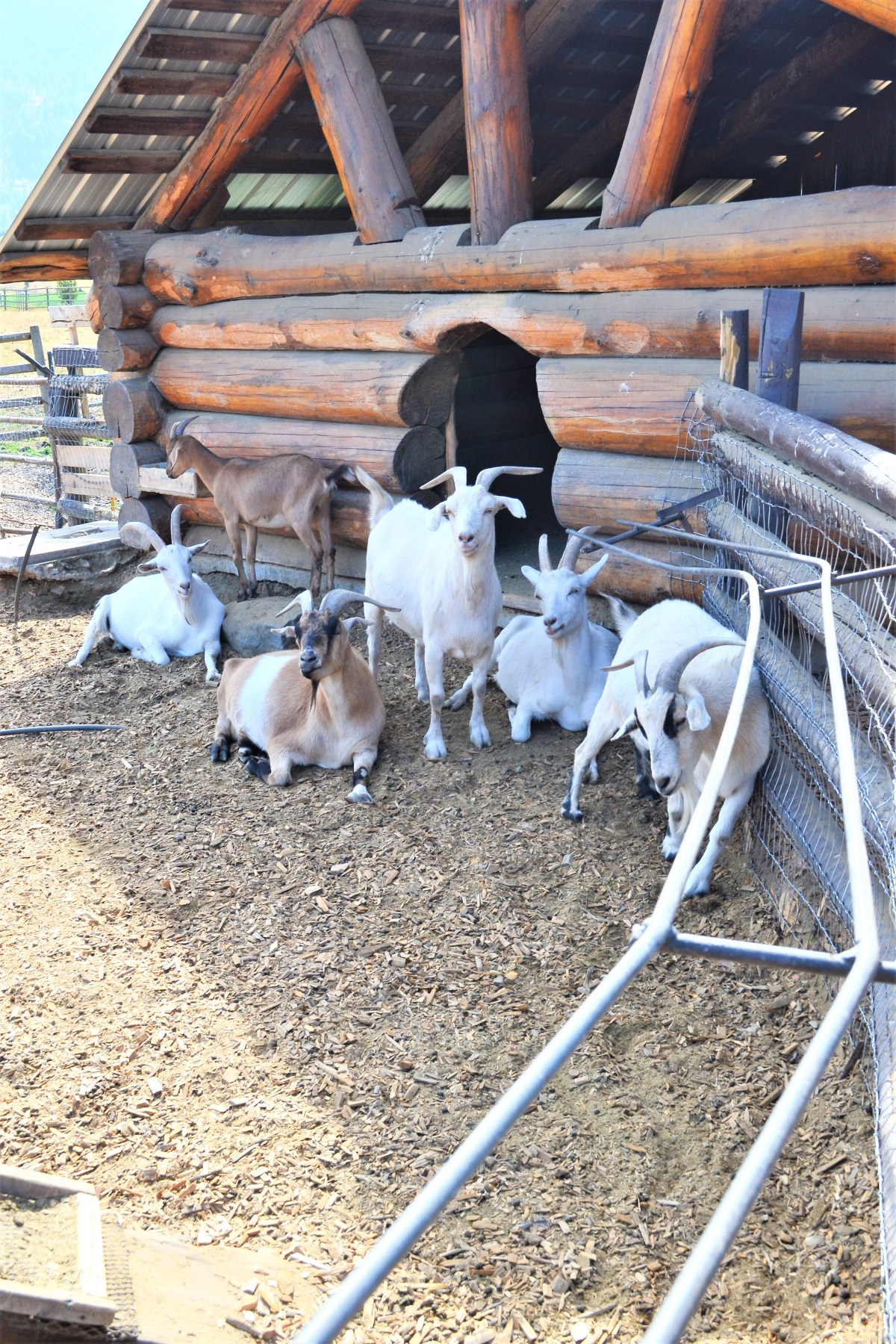 The Log Barn Adventure - goats
