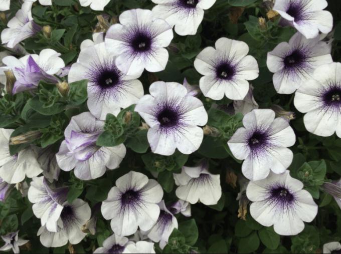 jenis-jenis bunga hias