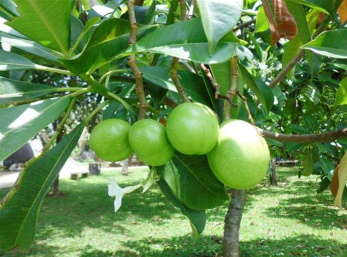 buah bintaro pengusir tikus