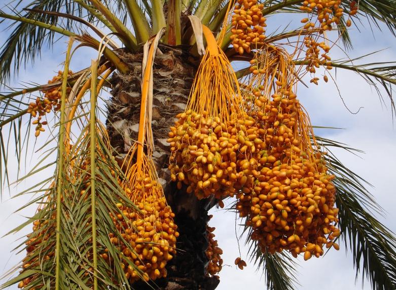 pohon kurma muda
