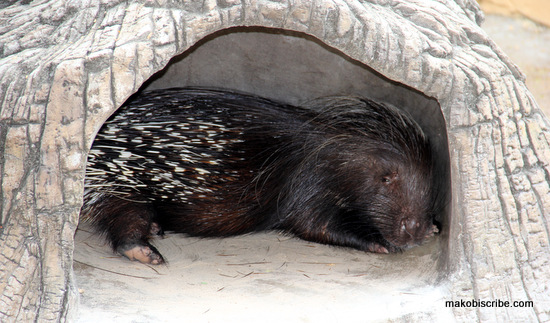 porcupine at the zoo