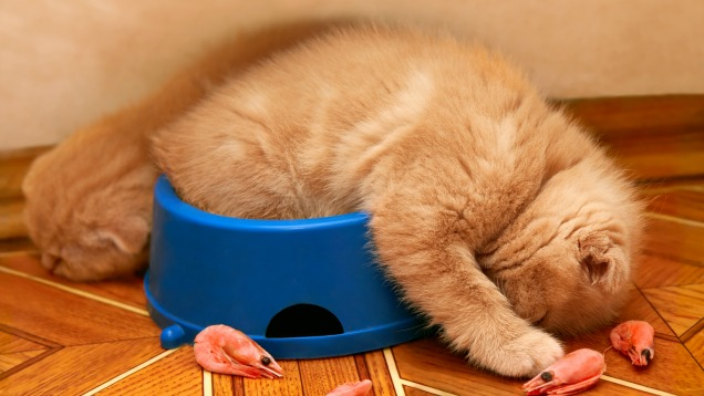 sleepy cat bowl