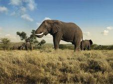 Olifant_safari