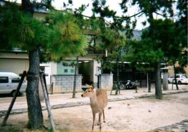 宮島にてシカを発見