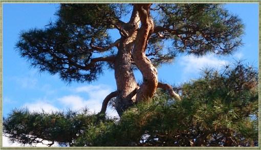 松本城松木の拡大図