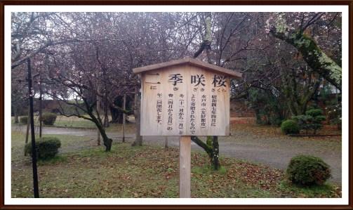 彦根城公園の二季咲桜の看板