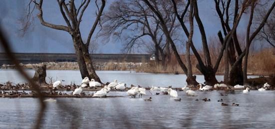 琵琶湖北水鳥公園の白鳥たち05
