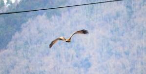 琵琶湖北水鳥公園のトンビの山を背景とした羽ばたき03