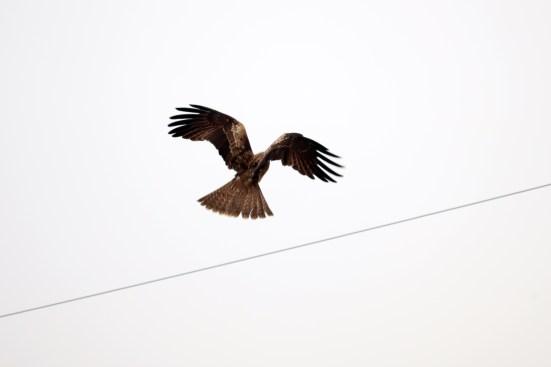 琵琶湖北水鳥公園のトンビの羽ばたき02