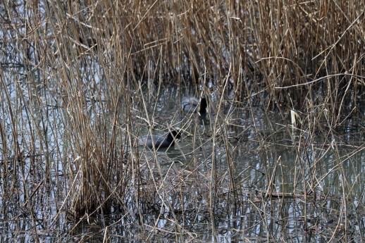 琵琶湖北水鳥公園のオオバン01