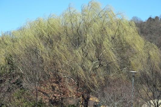 三井山の柳