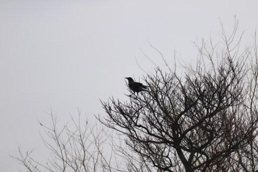 ソーラーアーク近くの河原にて木の上のカラス