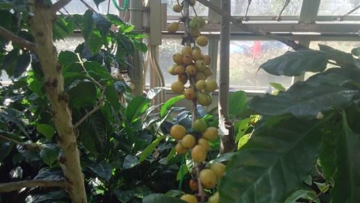 東谷山フルーツパークのキミノコーヒー02