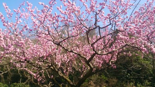 東谷山フルーツパークの梅園11
