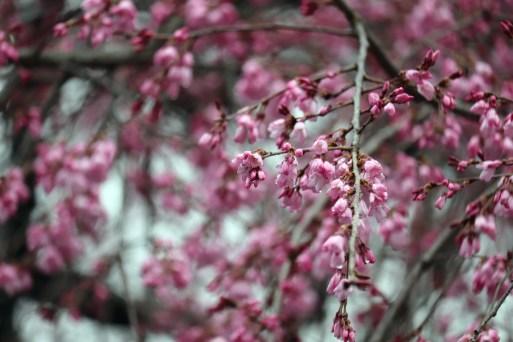 龍泉寺の枝垂桜アップ