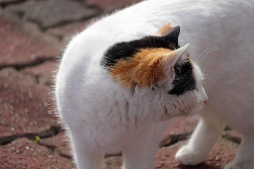 曼荼羅寺の振り返る猫アップ