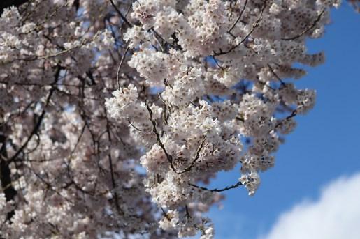 曼荼羅寺の桜03