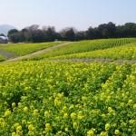 8あわじ花の菜の花1