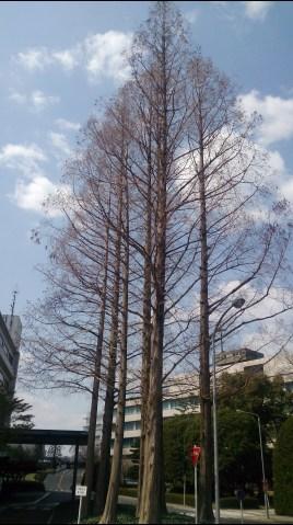 トヨタ6の本社敷地内のメタセコイアの木