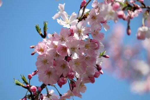 とよた美術11-3の桜のアップ