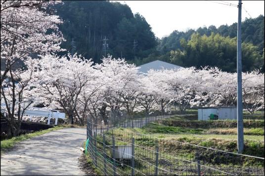 奥山田桜2-1桜並木