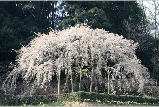 奥山田桜5-4しだれ桜の本体