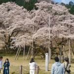 淡墨桜1のトップ