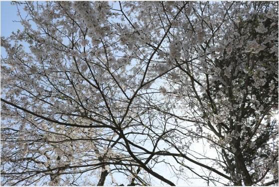 奥山田桜4の1-5